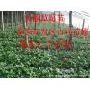 草莓苗哪里有,哪里草莓苗最好,吉祥草莓苗专业培育