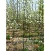 梨树苗品种、晚秋黄梨树苗价格