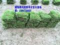 湖南绿化草皮基地 (3图)
