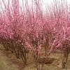 榆叶梅、丛生榆叶梅、独杆榆叶梅、美人梅、珍珠梅、榆叶梅、腊梅