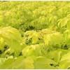 金叶复叶槭  河北馒头柳 定州香花槐 丝棉木 法桐