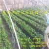 大棚草莓苗 大棚草莓苗价格