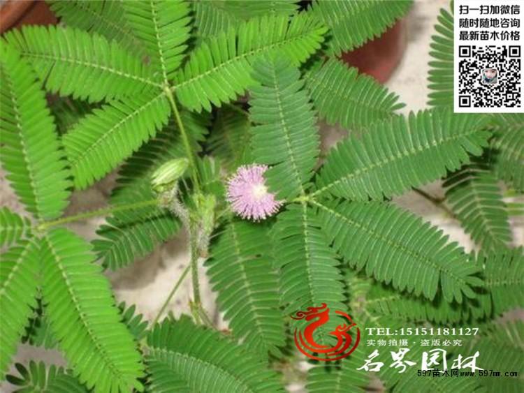 供应各种草花类植物含羞草