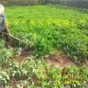 草莓秧苗 草莓脱毒苗