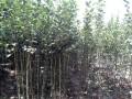 绿化苗-西府海棠 (9图)