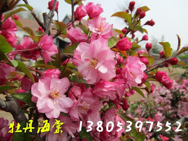 皱皮木瓜花蕾繁多,色彩艳丽