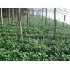 供应草莓苗=草莓苗新品种