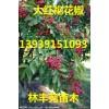 花椒树苗、大红袍花椒树苗价格、狮子头花椒树批发、多少钱一棵