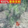 供应夹竹桃 红花夹竹桃 夹竹桃苗木 数量大质量保证