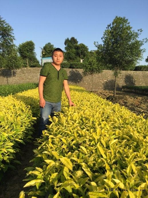 海南大量茶苗|乔灌木