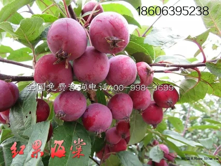 北美海棠果能吃吗,北美果子好吃吗?
