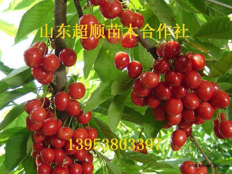 本苗木生产基地培育的樱桃树苗具有挂果多,防风耐旱,果实粒大饱满的