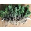 红豆杉树市场价格 红豆杉价格 云南红豆杉 红豆杉树苗