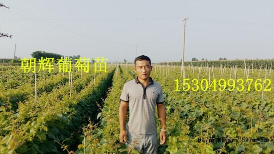 新星无核葡萄苗   辽宁省葫芦岛市