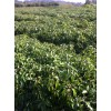 【香樟小苗供应、一年生香樟小苗】香樟图片、优质绿化小苗、乔木