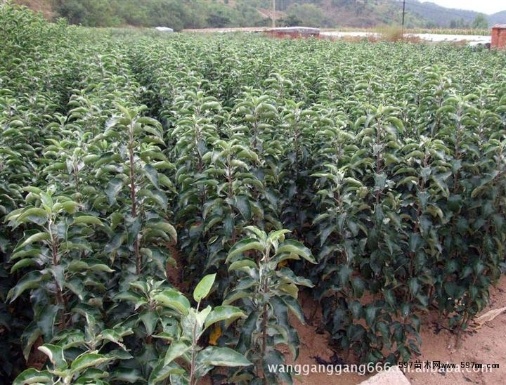 红富士苹果树苗