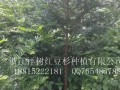 供应1年生——8公分红豆杉