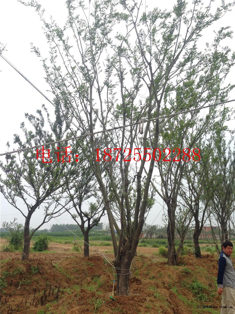丛生朴树图片|苗木|苗木图库|597苗木网