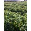 香樟小苗价格、会埠供应一年香樟小苗、2-15公分香樟树、乔木