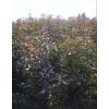 合作社供应木荷小苗、批发/销售|供应江西一年木荷树苗、绿化苗