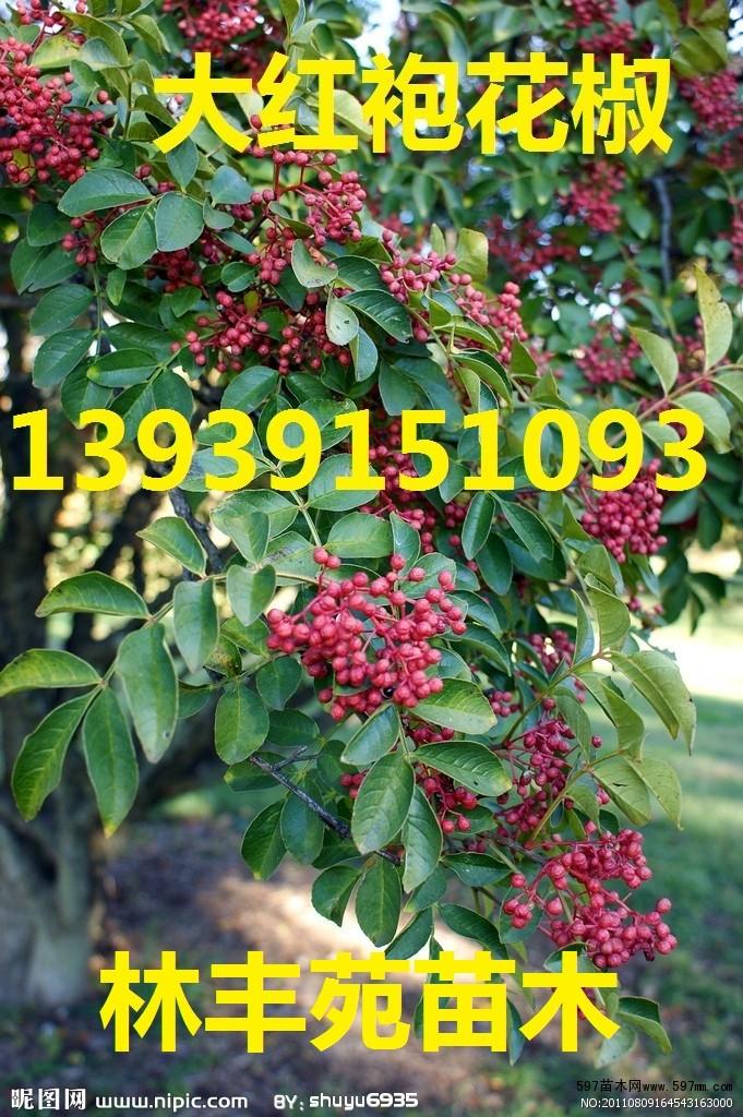 韩城大红袍花椒树,陕西狮子头花椒树苗价格
