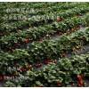 新疆草莓苗 新疆草莓苗价格 新疆草莓苗哪里买