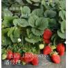 内蒙古草莓苗 新疆草莓苗 云南草莓苗 甘肃草莓苗产地