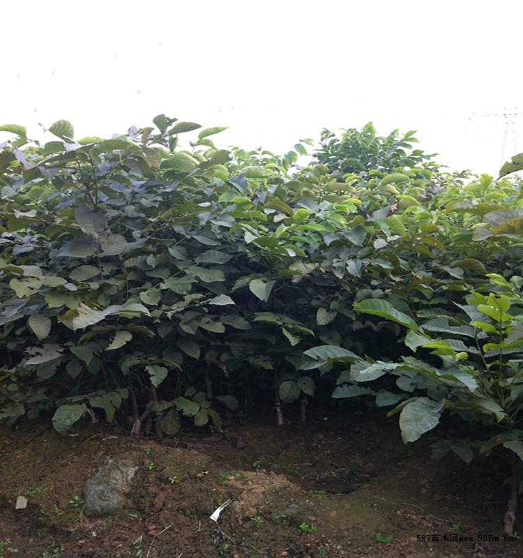绿篱,地被,藤本植物,花灌木,各种球类,行道树,高档花卉,常青类,护坡用
