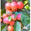 北美之王海棠苗,品种纯,价格低,金诚苗木繁育中心