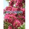 绚丽海棠苗,质优价廉,品种纯金,专业种植,金诚苗木基地