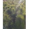 2公分湿地松、地径3公分湿地松批发、4公分湿地松最新价格