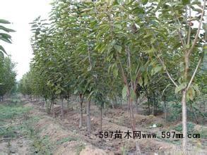 分3公分4公分樱桃树价格3公分樱桃树图片