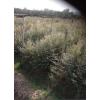 奉新苗木供应、红豆杉小苗、批发1公分、2公分、3公分红豆杉