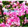 垂丝海棠苗,价格低,品种纯,金诚苗木专业培育基地