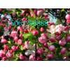 西府海棠苗,专业种植,专业培育,专业嫁接,苗木供应商