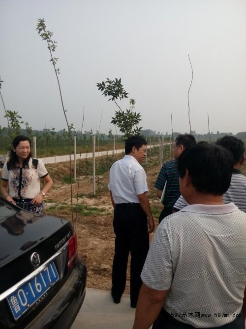 m9-t337自根砧苹果苗,青岛农业大学合作单位