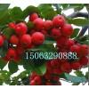 冬红海棠苗又名长寿果,冬红海棠苗基地,冬红海棠苗专业培育