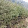 供应柳杉苗