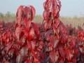 红叶樱花价格