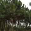 供應濕地松苗 江西供應濕地松樹苗 濕地松苗哪里買