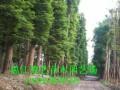 成都水杉丨成都水杉基地