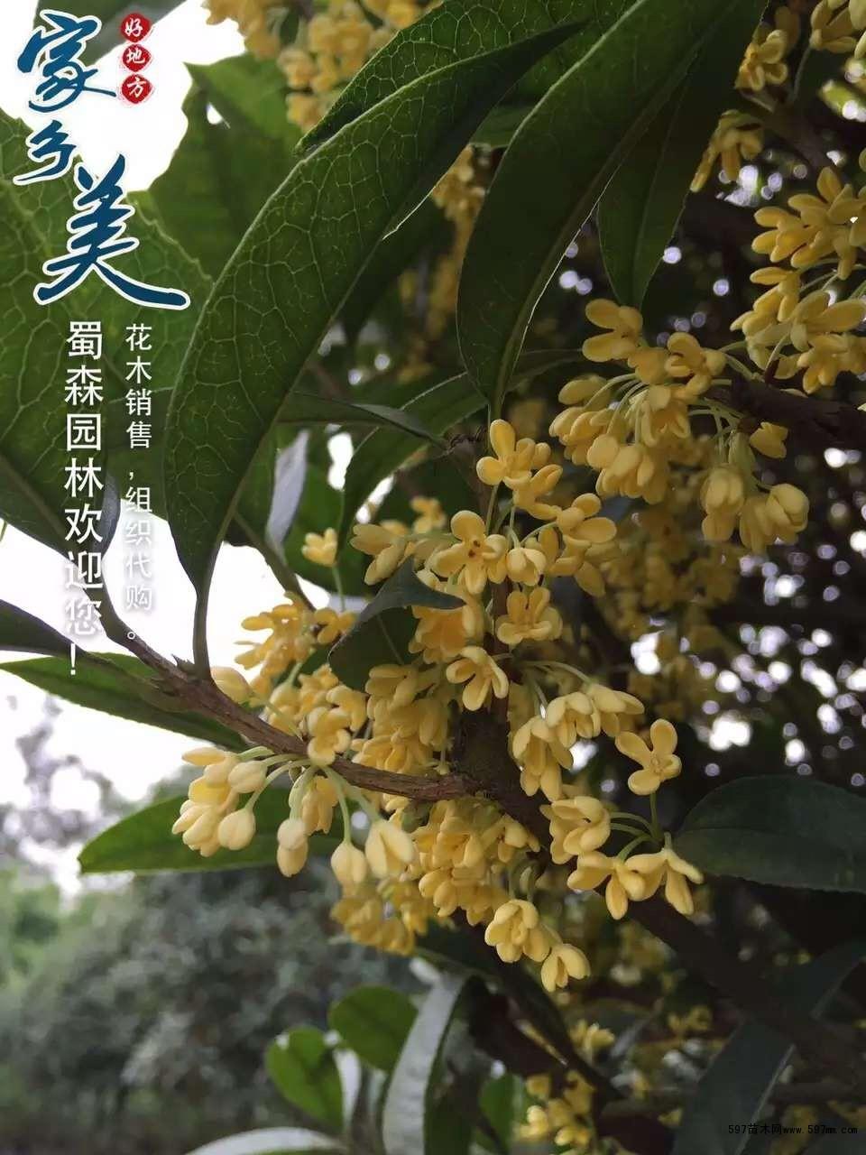 腊梅花盆景钩针图解