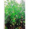 法桐,国槐,刺槐,榆树