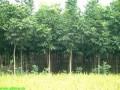 供应1-3公分造林无患子小苗价格