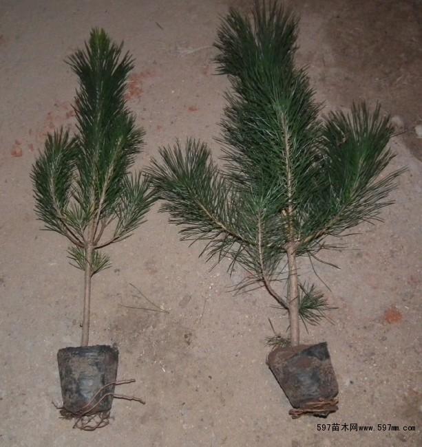 针叶类植物平面图例黑白