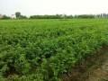 供应一年生优质朴树小苗
