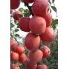 山东优质苹果苗批发 苹果苗品种及规格