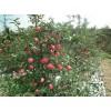 泰安旭昇园艺苹果苗供应 苹果苗种植技术