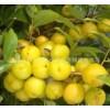 钙果苗0.3公分钙果苗-0.8公分钙果苗价格