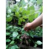 大量供应恩施利川神豆腐树苗(观音豆腐树,臭黄荆,斑鸠叶)